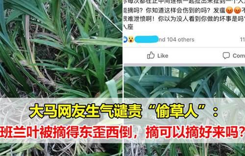 """大马网友非常生气谴责""""偷草人"""":班兰叶被摘得东歪西倒,摘可以摘好来吗?"""